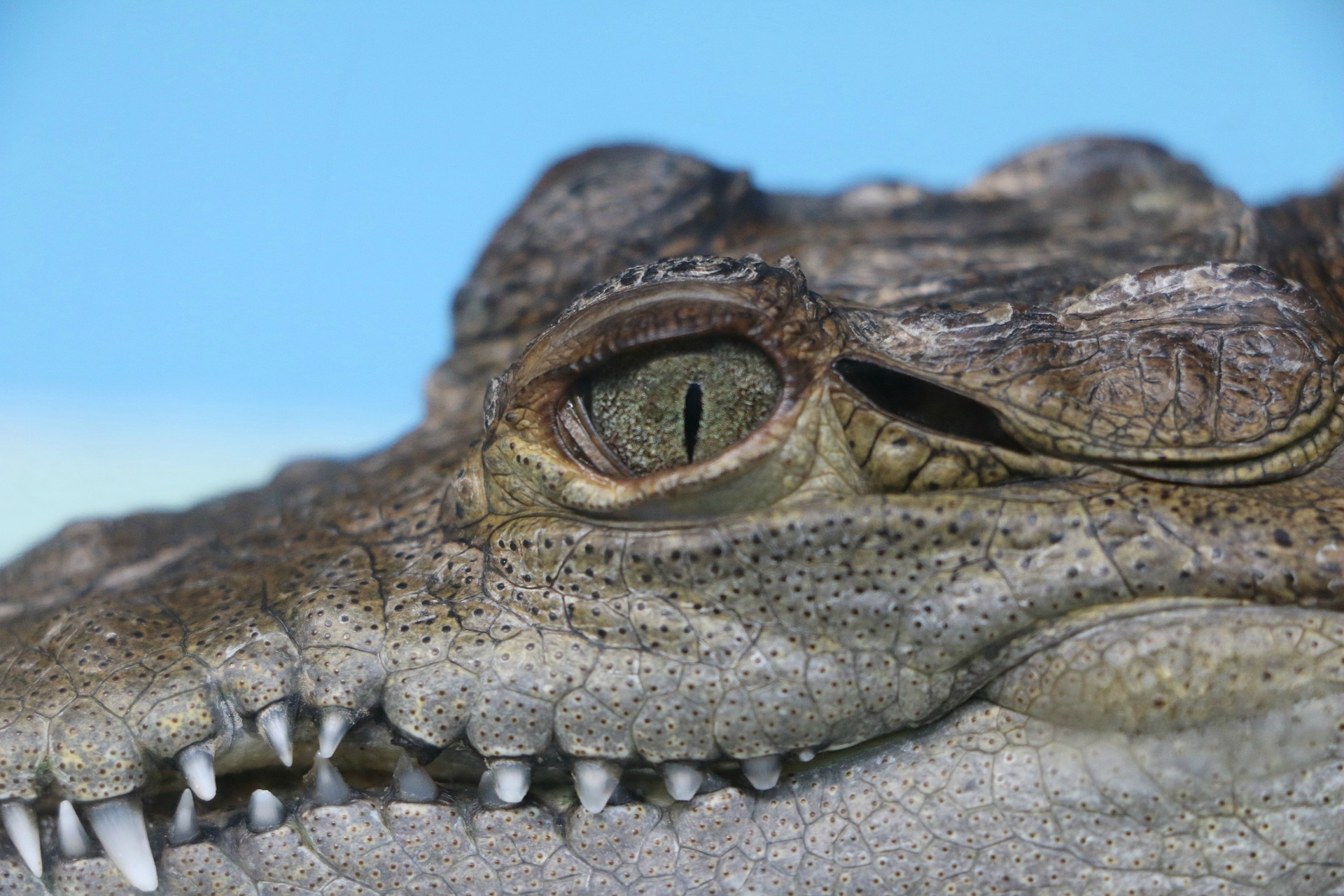 Close up of alligator in Anna Maria Island
