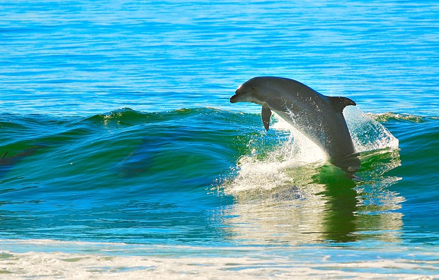 Dolphin jumping out of the water in Anna Maria Island