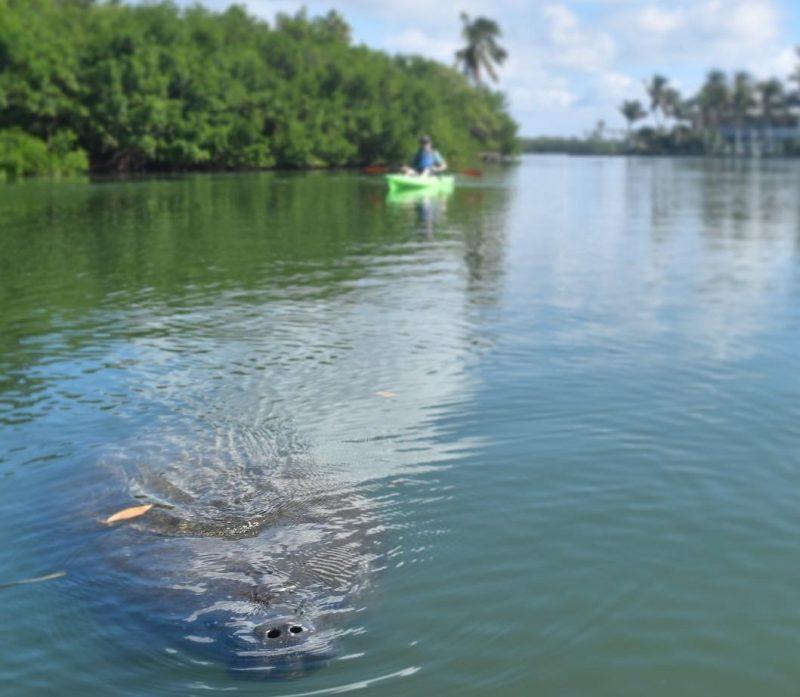 manatee in water kayaking anna maria island